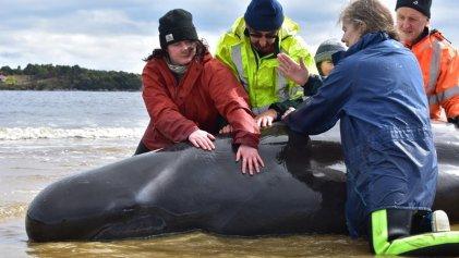 Varamiento masivo de ballenas en Australia: las hipótesis sobre el desastre ambiental