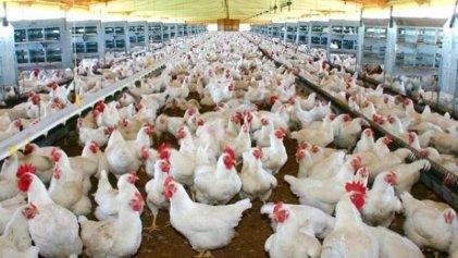 Países Bajos: sacrifican 190 000 gallinas y pollos por un nuevo foco de gripe aviar