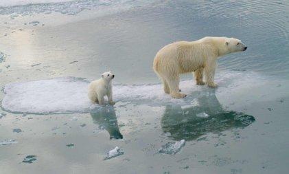 Adiós a los osos polares: el calentamiento global les puso fecha de extinción