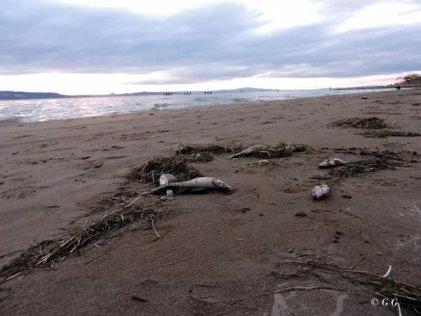 [Video]Cientos de peces muertos en las costas del Lago Musters